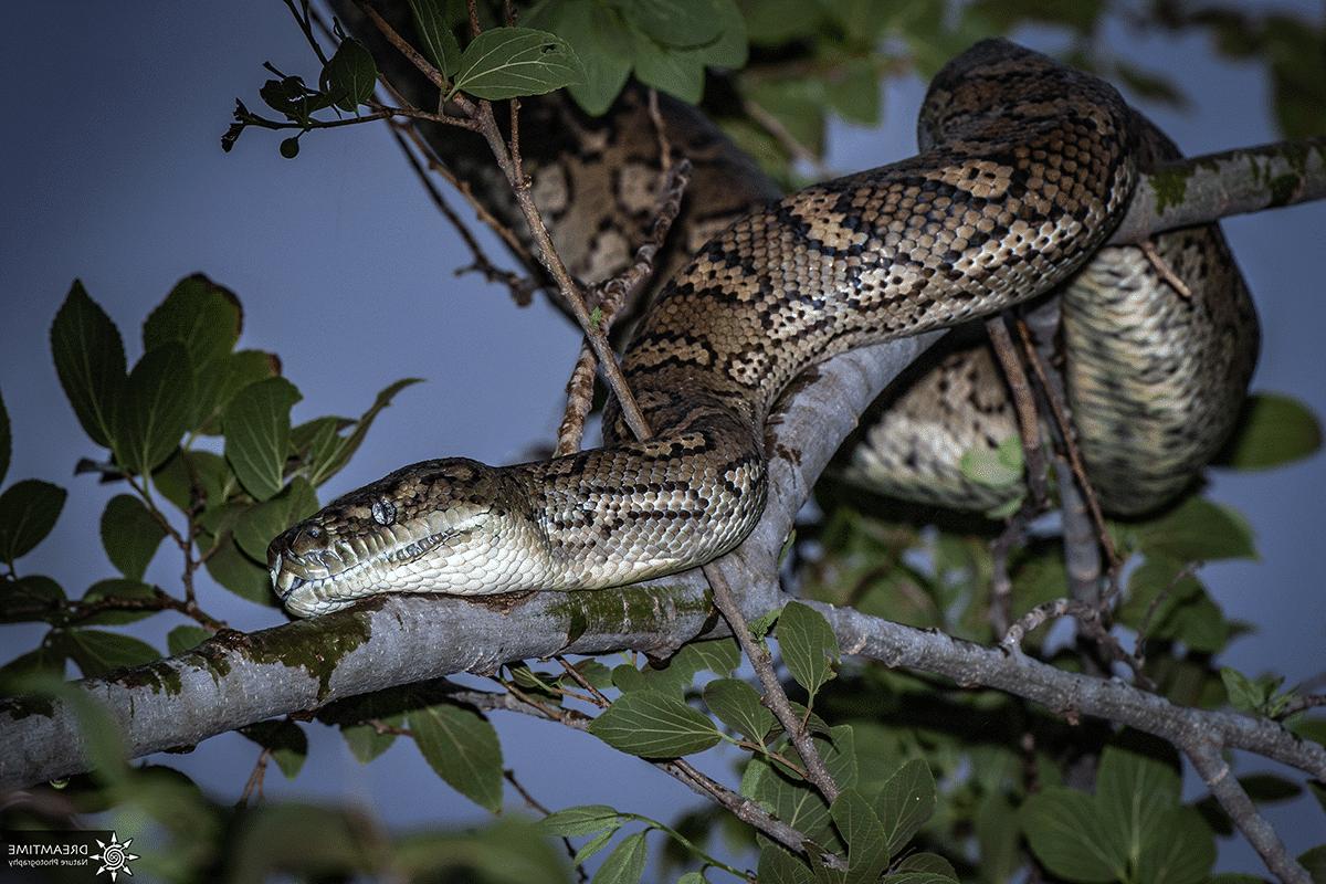 Pourquoi n'y a-t-il pas de serpents en Nouvelle-Zélande?